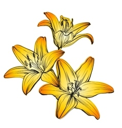Floral blooming lilies hand drawn vector