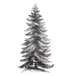 Norway Spruce vintage engraving vector image vector image