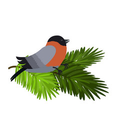 bullfinch sitting on spruce branches isolated on vector image