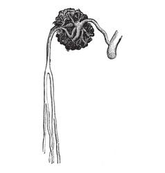 Malpighian vintage engraving vector image