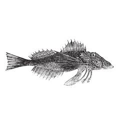 Common Sea Robin or Prionotus carolinus vintage vector image