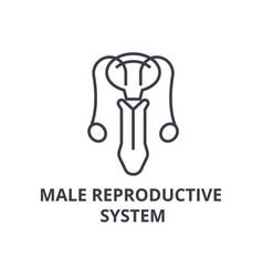 male reproductive system thin line icon sign vector image