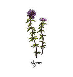 flat cartoon sketch hand drawn thyme vector image