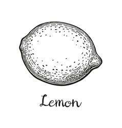 ink sketch of lemon vector image