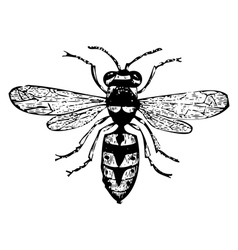 Old wasp engraving vector image vector image