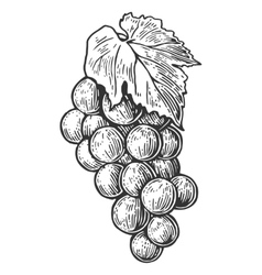 Bunch of grapes Black and white vintage engraving vector image