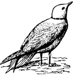 bird rhodostethia rosea vector image