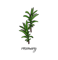 flat cartoon sketch hand drawn rosemary vector image