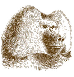 engraving drawing of baboon head vector image