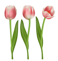 realistic tulips set vector image