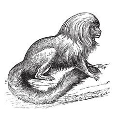 Tamarin vintage engraving vector image