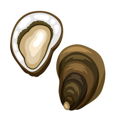 Fresh opened oyster isolated of vector