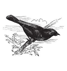 Summer Tanager vintage engraving vector image