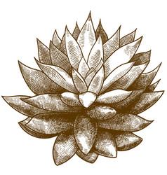 Engraving echeveria or succulent vector