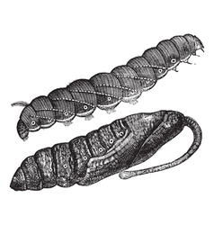 Larva vintage engraving vector image vector image