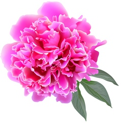 Pink realistic paeonia flower with tree leaves vector image vector image