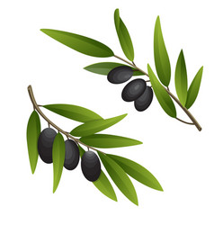 Olive branch in watercolor style design for olive vector