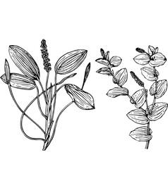 plant potanogeton vector image