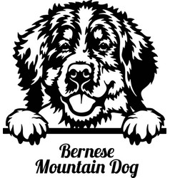 bernese mountain dog peeking dog - head isolated vector image