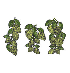 Hops and leaves vector