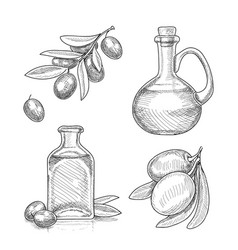 olives fruit on branch and olive oil sketch vector image
