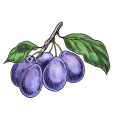 purple plums on the branch with leaves vector image