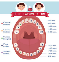 Tooth arrival chart infographic temporary teeth vector