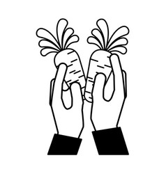 hands holding carrots vector image