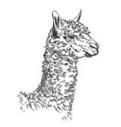 Lama hand drawing vector