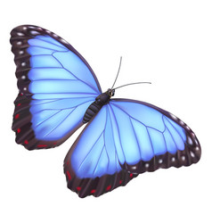 Blue morpho butterfly vector