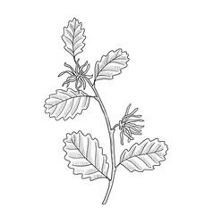 Drawing witch-hazel vector