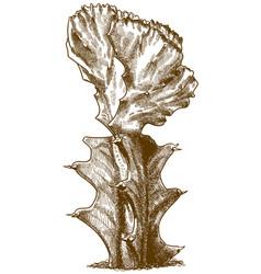engraving gymnocalycium vector image