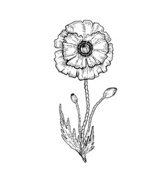 Poppy flower sketch black outline floral vector