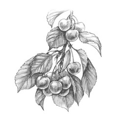 Sweet cherry pencil drawing vector