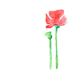watercolor poppy isolated on white vector image