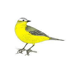Hand drawn yellow wagtail vector