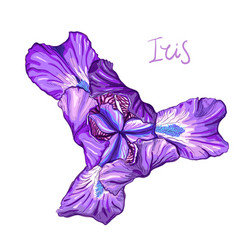 violet iris flower vector image vector image