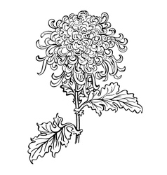 japanese chrysanthemum flower vector image
