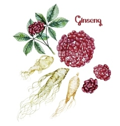 Watercolor ginseng root and berries vector image