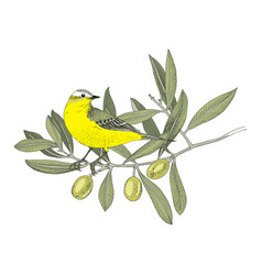 hand drawn yellow wagtail sitting on olive vector image