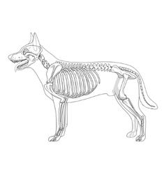 Dog skeleton veterinary vector