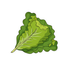 Fresh lettuce natural vegetable nutrition vector
