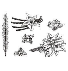 ink hand drawn culinary herbs and spices vector image