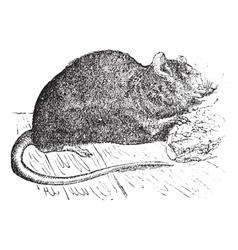 Vintage brown rat sketch vector