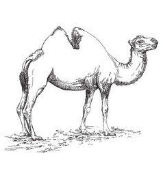 pencil hand drawing camel vector image