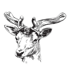 Hand sketch of a young deer vector image