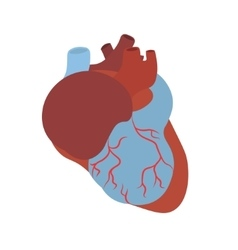 Anatomy Human Heart vector image