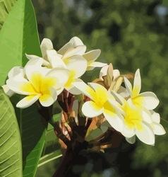 Frangipani flower vector