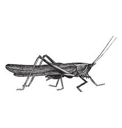 Meadow grasshopper sketch vector image vector image