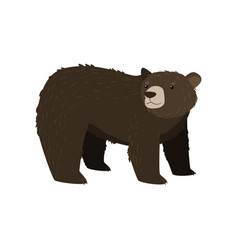 black bear standing at white background looking vector image